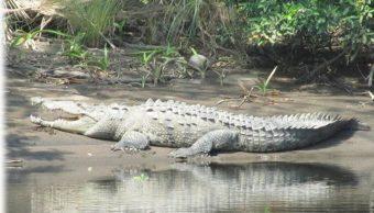 Reportan avistamiento de cocodrilos en zonas recreativas de Sonora