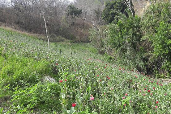 Plantío de amapola en Tepuxtepec, Oaxaca (Noticieros Televisa)