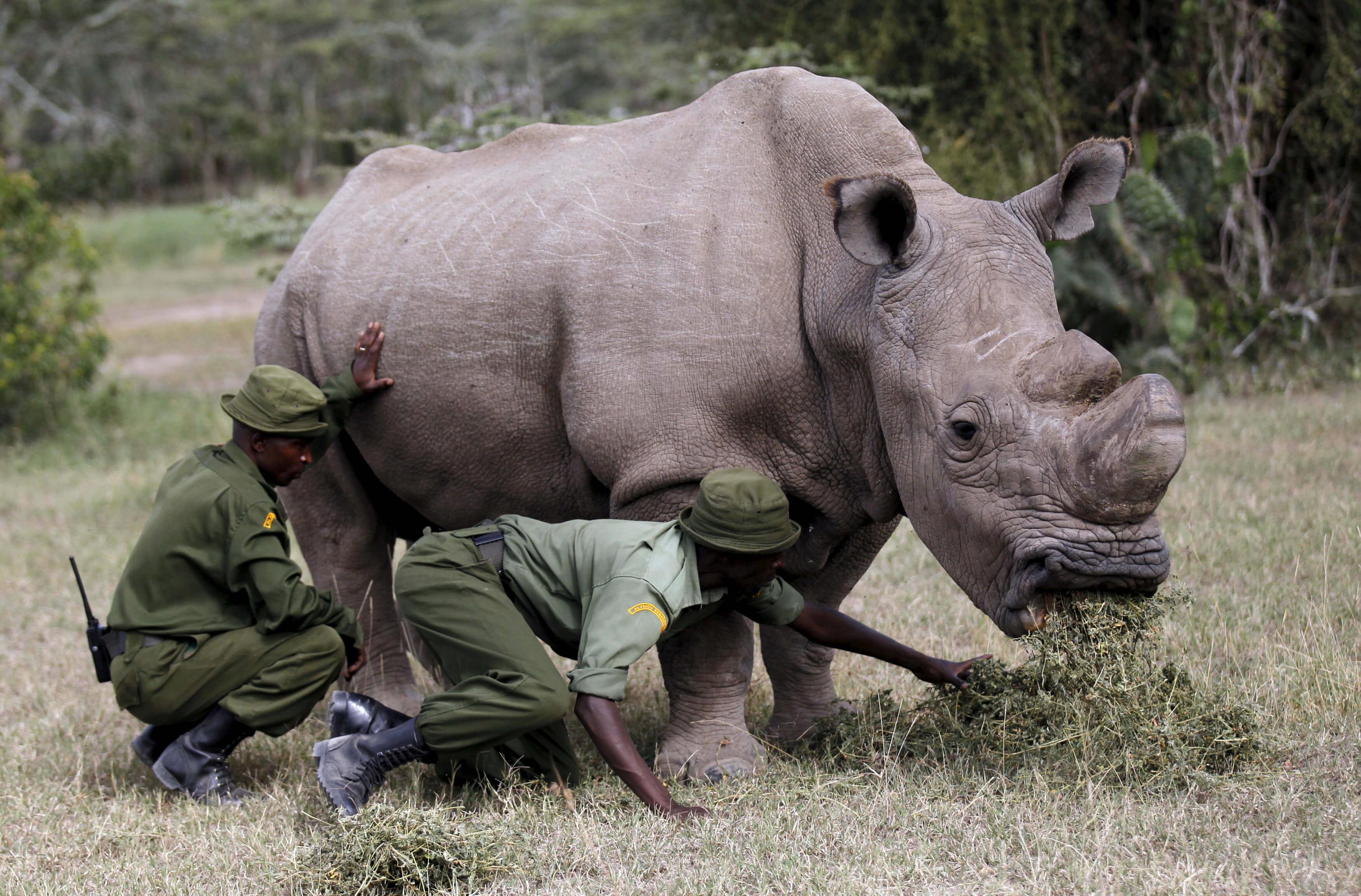 Sudán es el último rinoceronte blanco en el mundo.