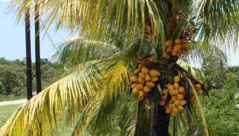 Planta afectada con plaga amraillamiento letal