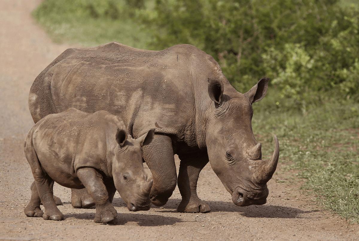Rinoceronte hembra junto a su cría