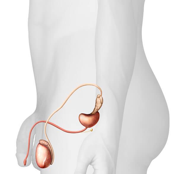Sistema reproductor masculino, pene, uretra, prostata, cancer de prostata