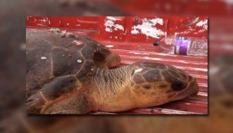 Tortuga lora llega a playas de Coatzacoalcos