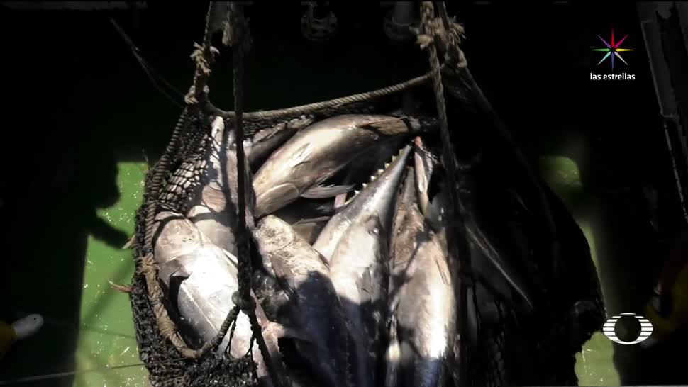 noticias, televisa, México, pesca de atún, daña al delfín, Atún