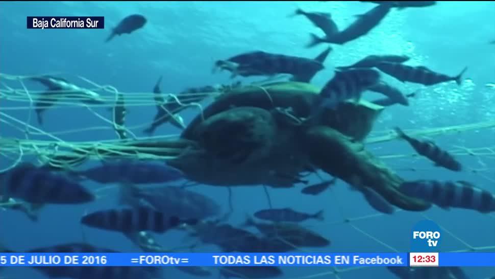 noticias, forotv, Lobos marinos, en riesgo, mallas, pesca en BCS