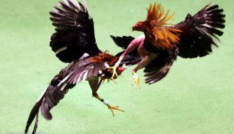peleas de gallos, prohíban, peleas, gallos, manifestarse, coahuila
