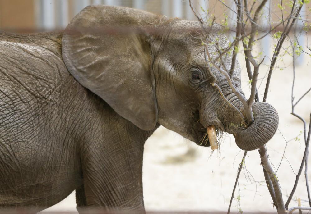 elefante, hembra, zoológico, Aragón, Ely, CDMX
