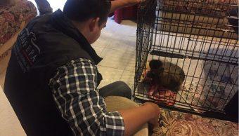 Un mono capuchino se encuentra en cautiverio