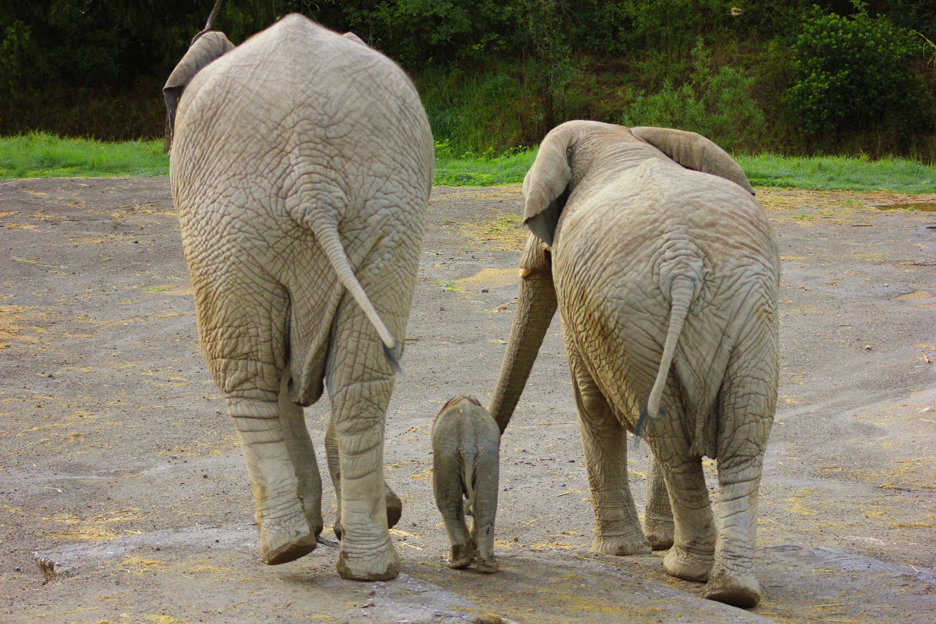 Nace el primer elefante africano en puebla televisa news - Fotos de elefantes bebes ...