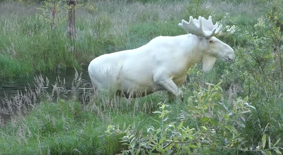 alce blanco, mutación, Suecia, video