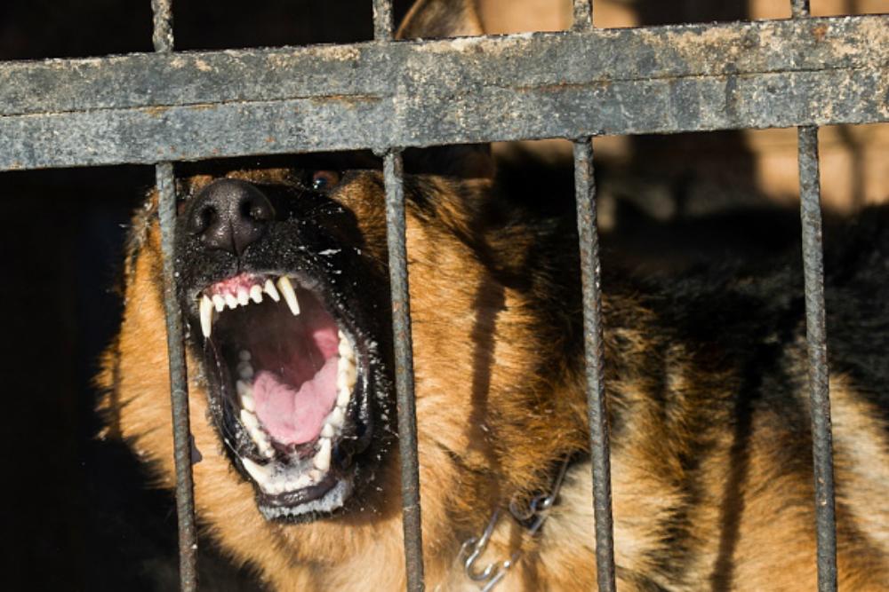 pastor alemán, perro guardián, ladrón, casa, ensangrentado, perro