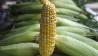Estudio del Imco recomienda el uso de maíz transgénico