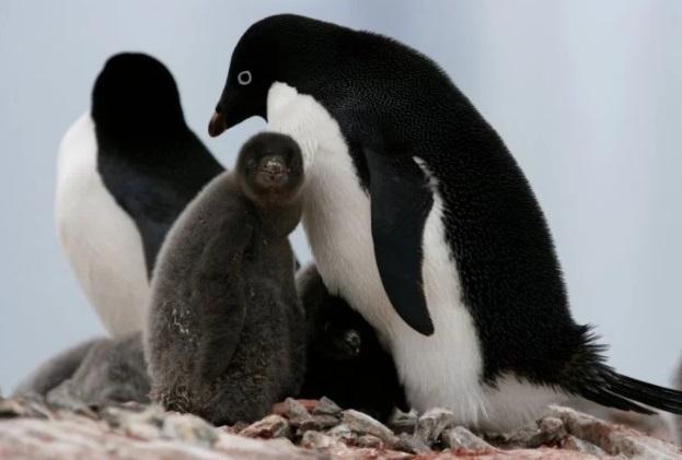 Miles de pingüinos bebes mueren de hambre en la Antártida