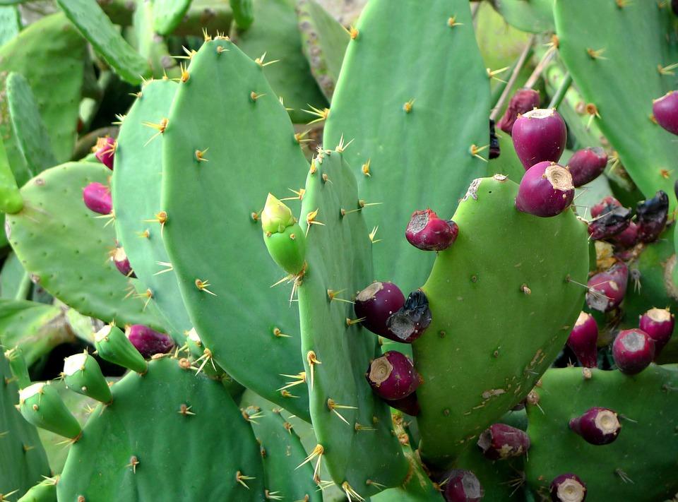 Nopal mexicano