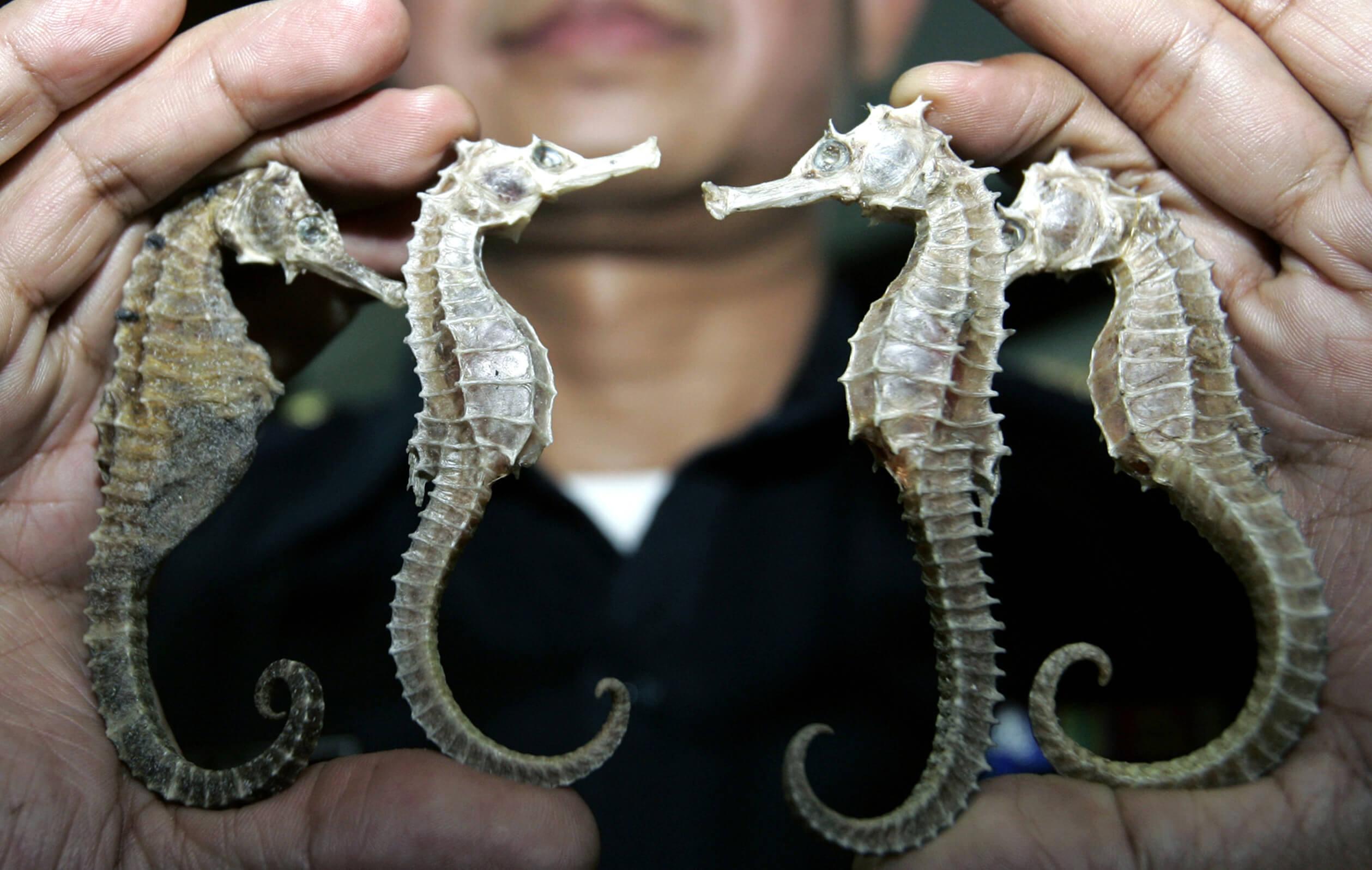 Investigadores crean protocolo de reproducción de caballitos de mar