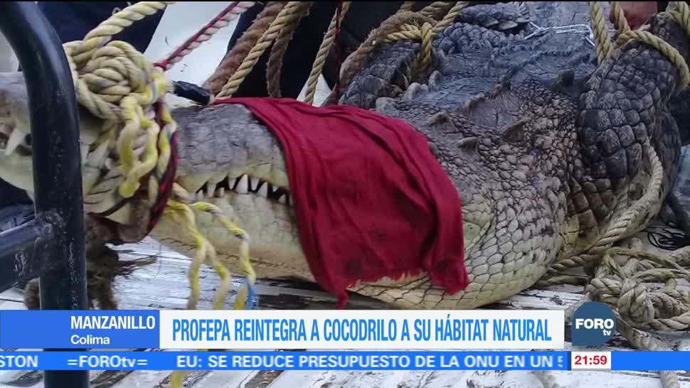 Profepa reintegra a cocodrilo a su hábitat natural en Colima