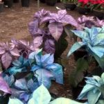 Productores diversifican colores de flor de Nochebuena en Puebla