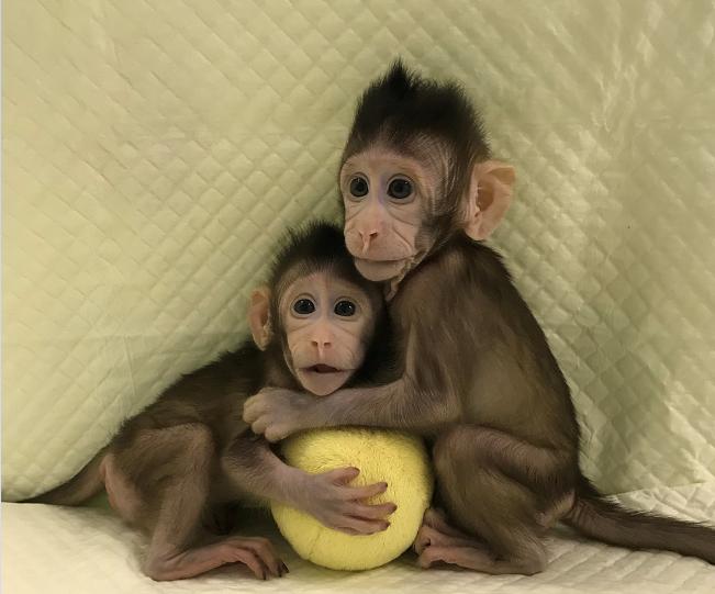 Clonan a dos bebés monos con el método de la oveja Dolly
