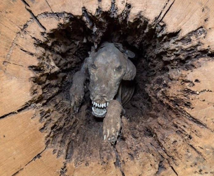 Perro momificado en un árbol ahora es atracción de museo