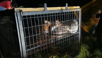 Captura Profepa al hipopótamo 'Tyson' en Las Choapas