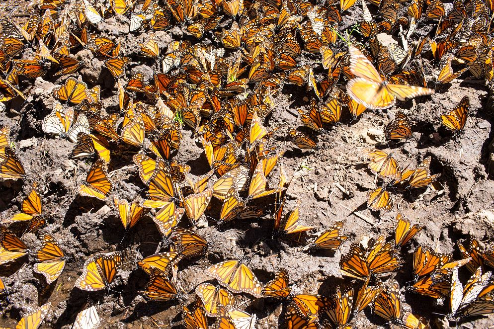 Expertos de México y EU analizan efecto polinizador de mariposa monarca