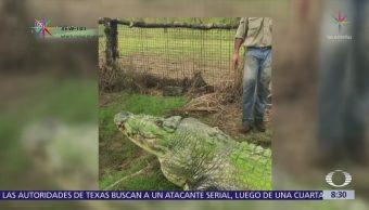 Matt Wright convive con enorme cocodrilo