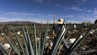 Cultivo de agave genera cinco veces más ganancias que maíz
