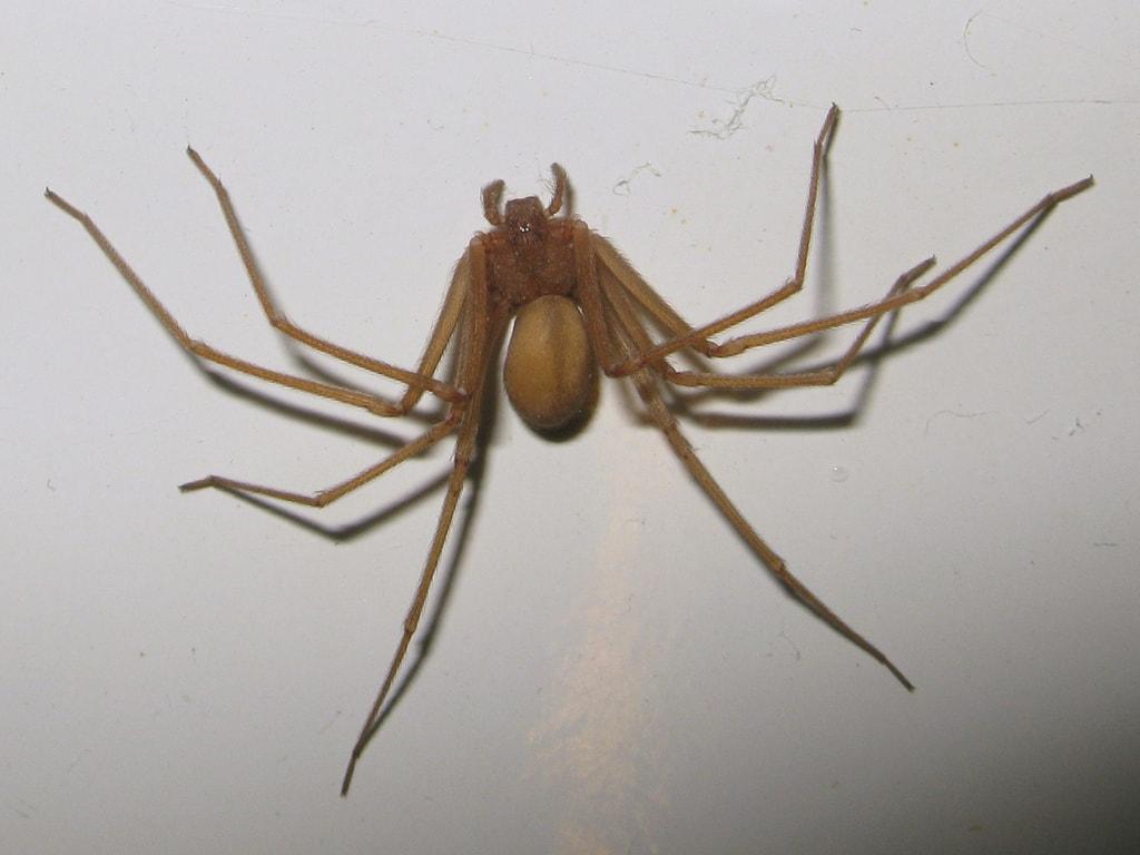 araña-violinista-especie-aracnido-mas-peligrosa-de-mexico-prolifera-en-tiempos-de-calor-consejos-para-evitarla