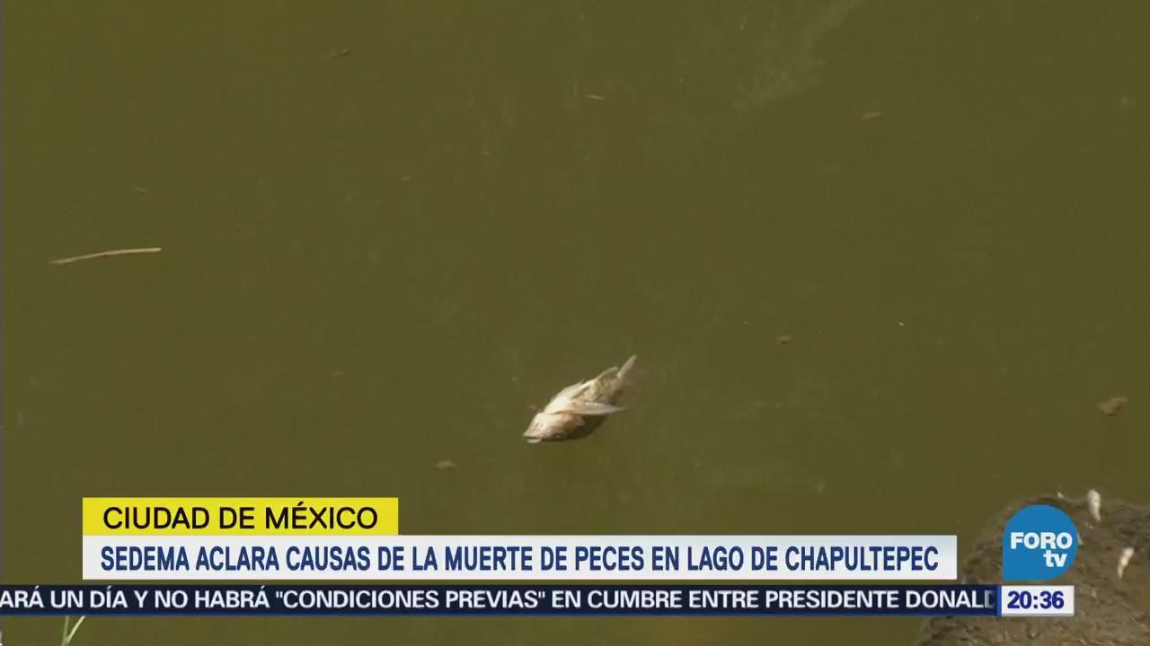 Sedema Aclara Causas Muerte Peces Lago Chapultepec