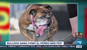Extra Extra: Bulldog gana como el perro más feo