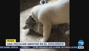 Juagan cachorro de tigre y perro en zoológico