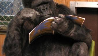Muere Koko, la gorila que se comunicaba con senas