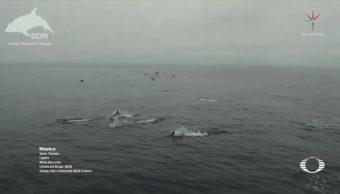Avistan más de tres mil delfines en costas