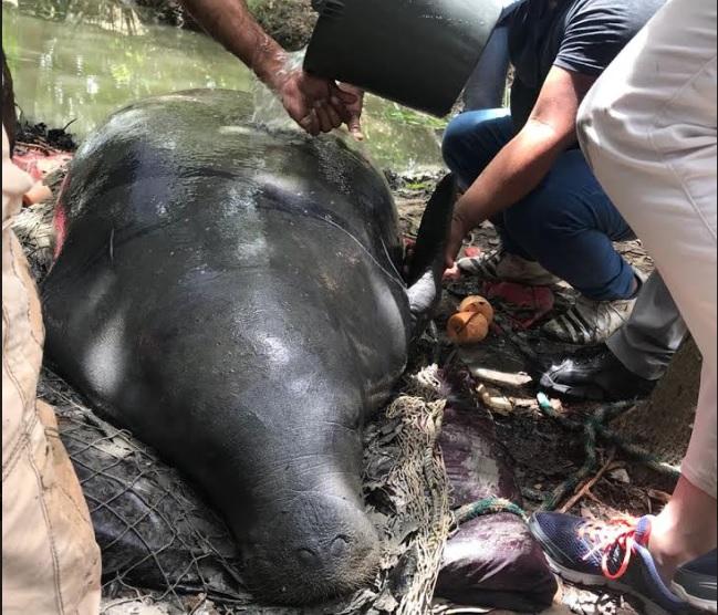 Llegan más especialistas a investigar muertes de manatíes en Tabasco