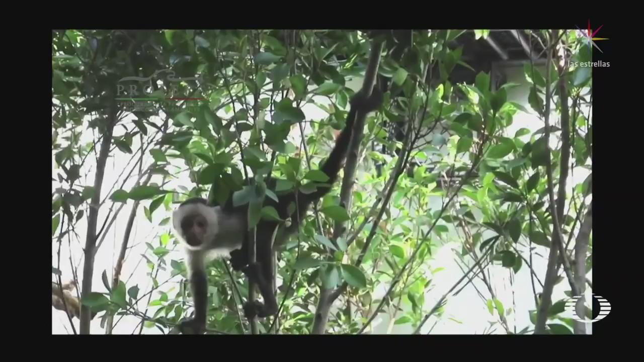 Mono capuchino se queda en Chapultepec