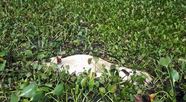 Atienden caso de tres ejemplares muertos de manatí en Tabasco