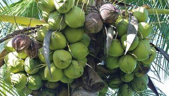 Cae producción de coco Veracruz por plagas y contaminación