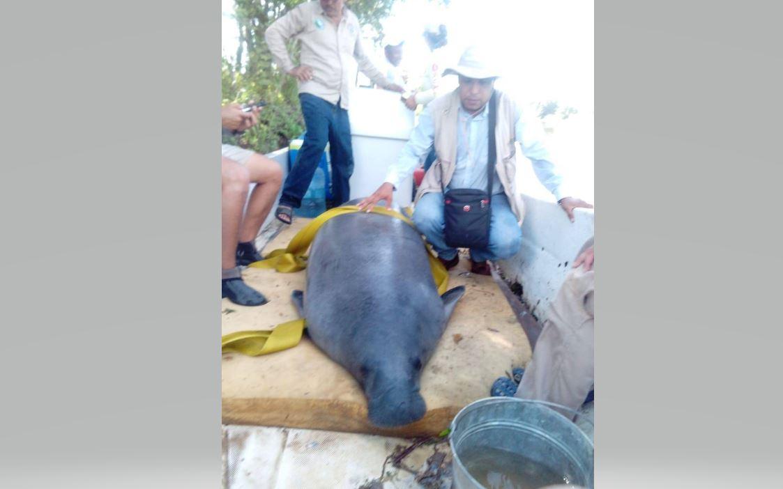 Profepa rescata y reubica a manatí del río Bitzal, en Tabasco