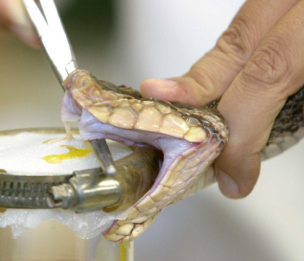 UNAM crea antiveneno contra mordeduras de serpiente