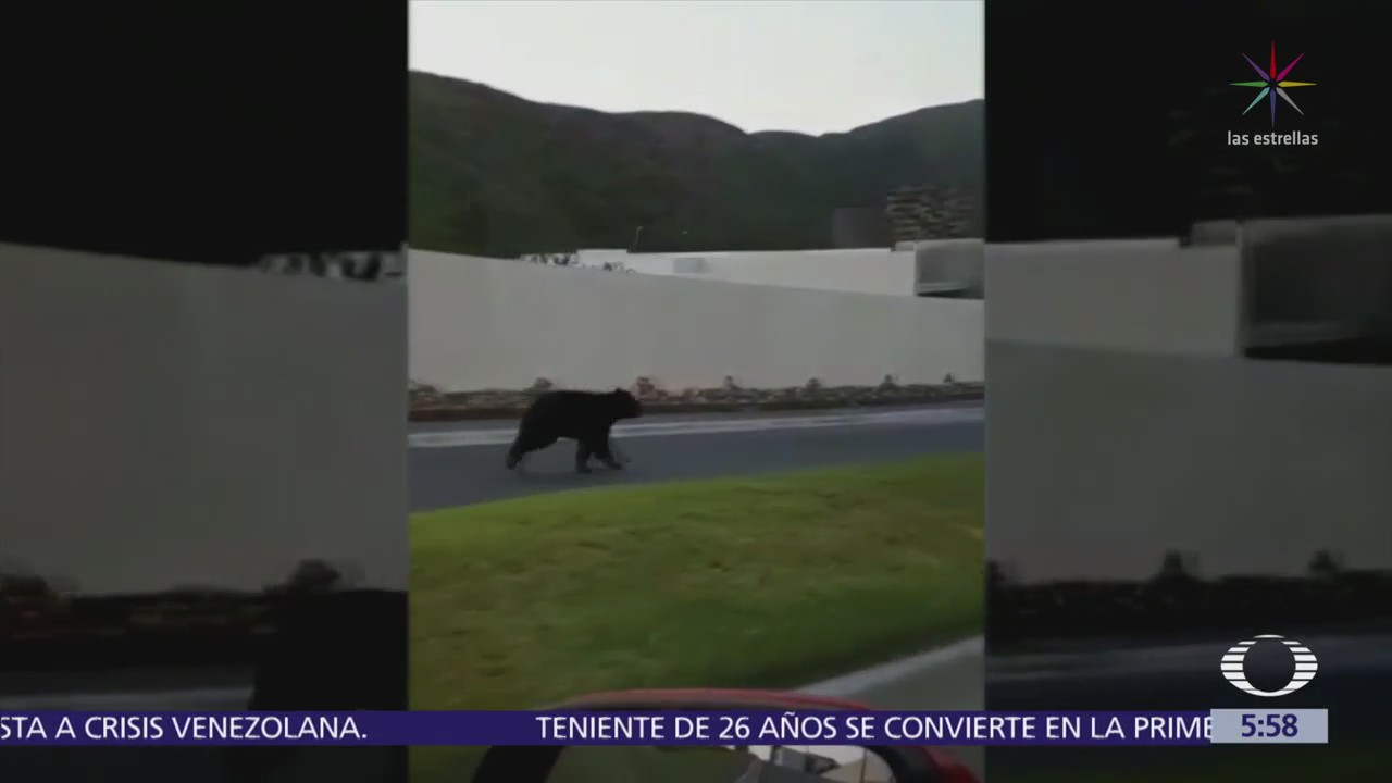 Captan a oso corriendo en calles de Monterrey
