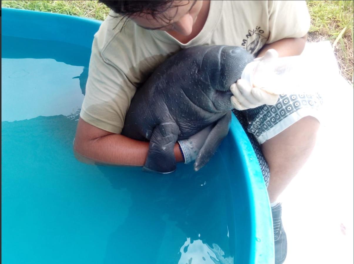 Cría de manatí es rescatada río San Pedro, Centla, Tabasco
