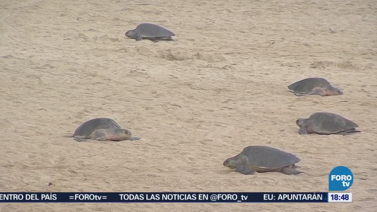 Inicia arribo tortugas golfinas a las playas de Michoacán