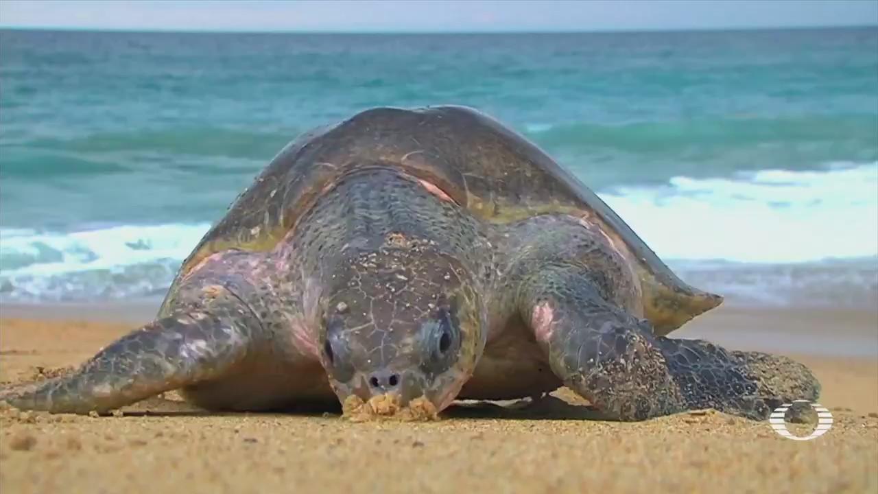 Miles Tortugas Golfinas Llegan Costas Michoacán