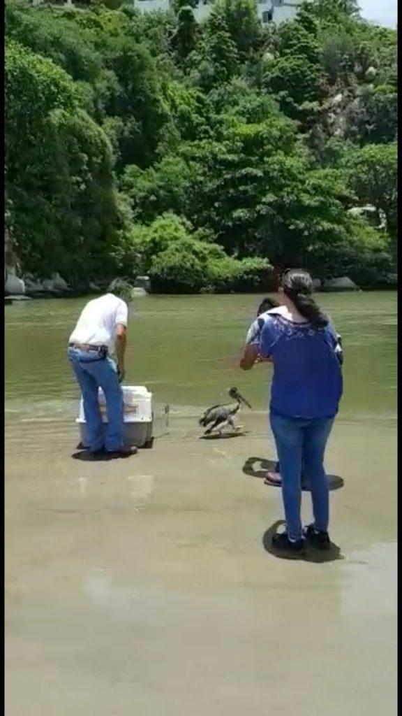 Profepa rescata a pelícano deshidratado en Acapulco, Guerrero