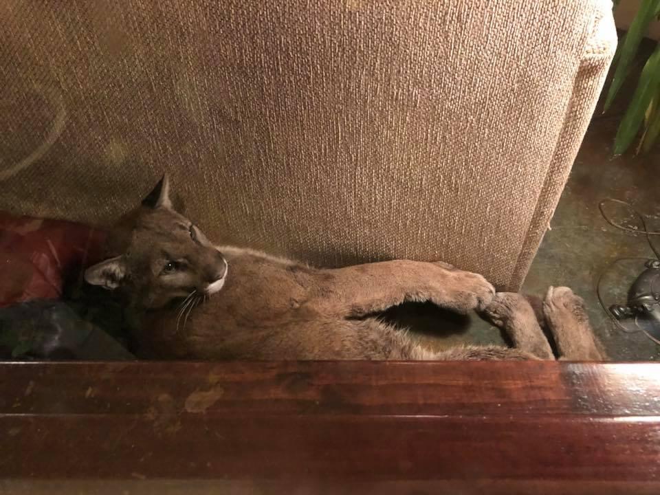 Puma Se Mete A La Sala, Puma Se Mete A Casa A Dormir, Puma, Oregon, Estados Unidos, Vida Salvaje