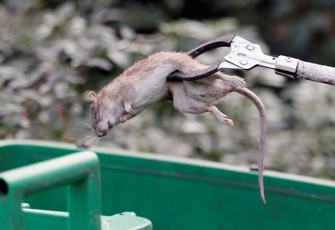 Plaga de rataas en París. (AP)