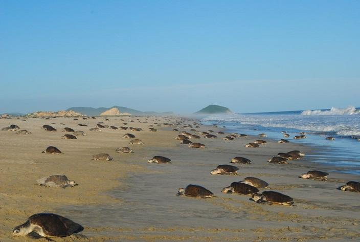 Tortugas desovan en Oaxaca, Profepa mantiene operativo de protección (Procuraduría Federal de Protección al Ambiente)