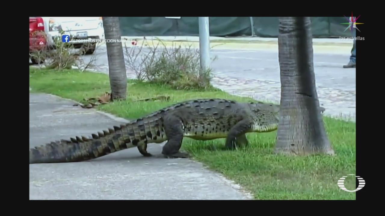 Alertan Avistamientos Cocodrilos Zonas Habitadas Puerto Vallarta