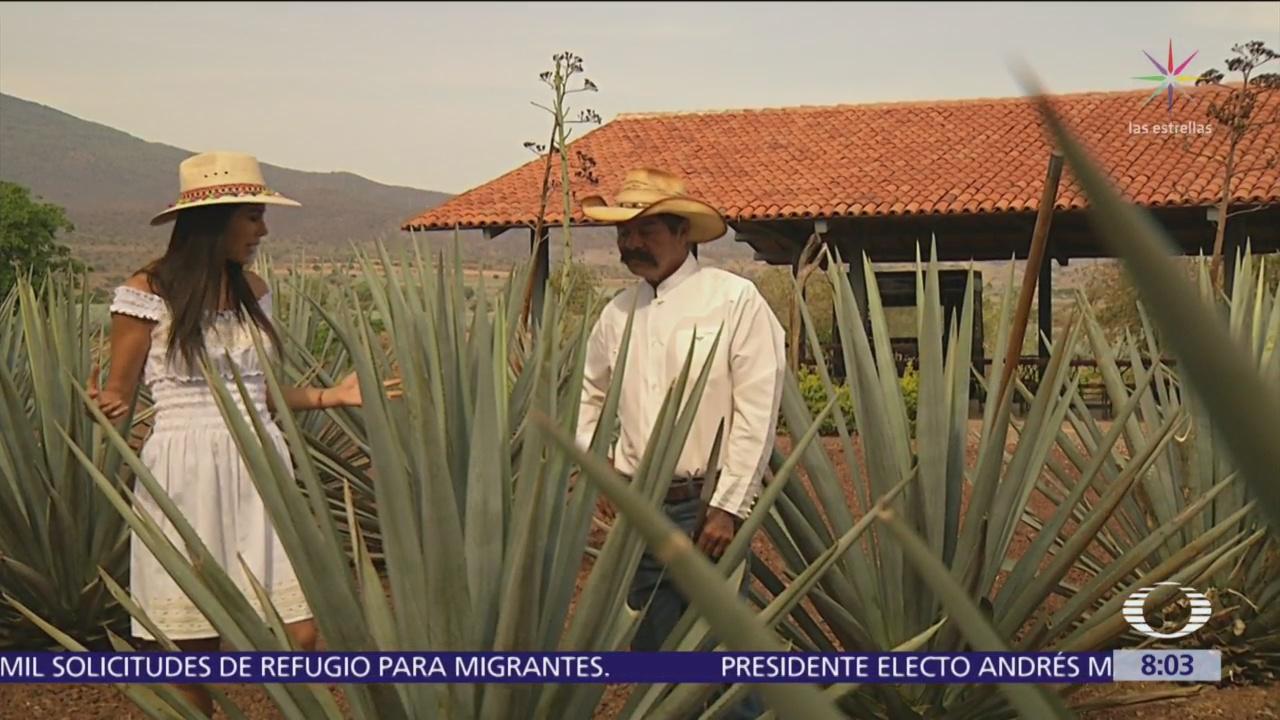 Jimador muestra el arte de cultivar el agave para tequila