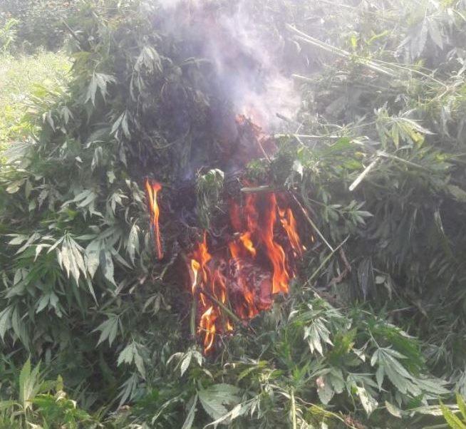 Destruyen 106 mil plantas de marihuana en Jalisco